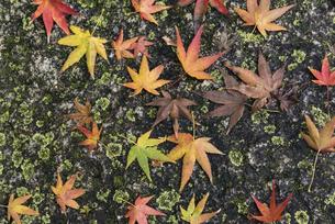紅葉したカエデの落葉の写真素材 [FYI04778713]