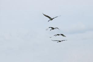 群をなして飛ぶ鶴たちの後ろ姿の写真素材 [FYI04778937]