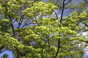 新緑と青空の写真素材 [FYI04779002]