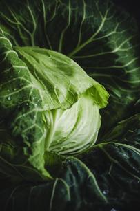 湘南野菜 キャベツの写真素材 [FYI04779052]