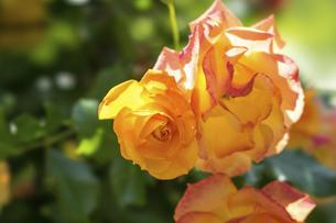 黄色い薔薇の花の写真素材 [FYI04779698]
