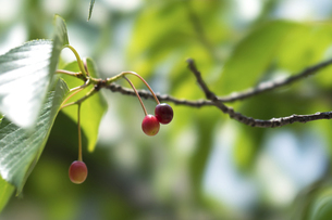 桜の実の写真素材 [FYI04779701]