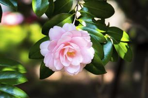 乙女椿の花の写真素材 [FYI04779731]