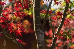 紅葉のある風景の写真素材 [FYI04779817]