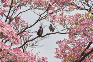 ピンクのハナミズキで羽を休める野鳥の写真素材 [FYI04779944]
