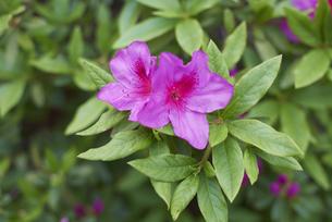 咲いたばかりのピンクのツツジの写真素材 [FYI04779945]