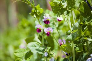 エンドウ豆の花の写真素材 [FYI04779956]