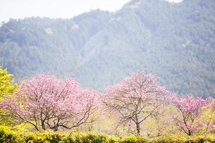 石舞台古墳に咲く菊桃の花の写真素材 [FYI04779965]