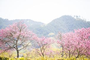石舞台古墳に咲く菊桃の花の写真素材 [FYI04779966]