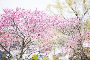 石舞台古墳に咲く菊桃の花の写真素材 [FYI04779967]