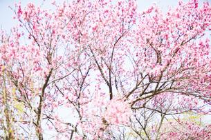 石舞台古墳に咲く菊桃の花の写真素材 [FYI04779968]