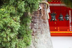 春日大社 本殿とご神木の写真素材 [FYI04780006]