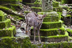 春日大社境内の参道にいる鹿の写真素材 [FYI04780009]