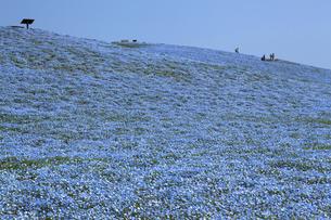 国営ひたち海浜公園のネモフィラ群生の写真素材 [FYI04780119]