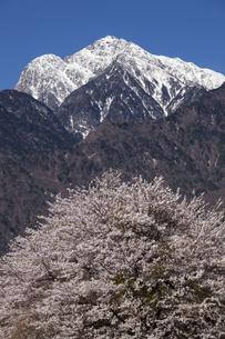 甲斐駒ケ岳と桜の写真素材 [FYI04780142]