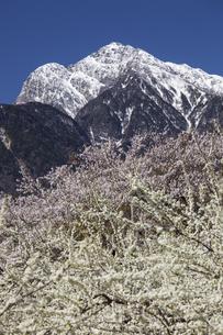 甲斐駒ケ岳とソルダムの花の写真素材 [FYI04780143]