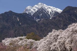 甲斐駒ケ岳と桜並木の写真素材 [FYI04780144]