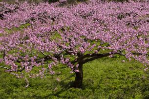 桃の花畑の写真素材 [FYI04780148]