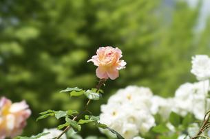 ピンクベージュの薔薇の花の写真素材 [FYI04780449]