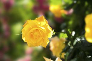 黄色い薔薇の花の写真素材 [FYI04780450]