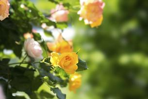 黄色い薔薇の花の写真素材 [FYI04780451]