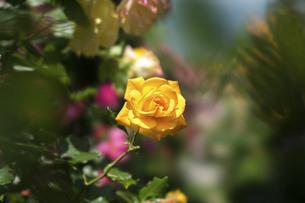 黄色い薔薇の花の写真素材 [FYI04780453]