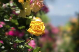 黄色い薔薇の花の写真素材 [FYI04780454]