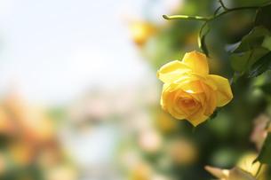黄色い薔薇の花の写真素材 [FYI04780455]