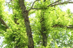 新緑(アキニレ)の写真素材 [FYI04780458]