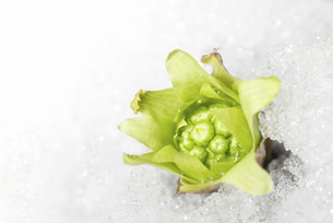 雪の中から顔を出したフキノトウの写真素材 [FYI04780579]