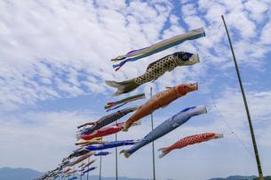 沢山の泳ぐ鯉のぼりの写真素材 [FYI04780599]