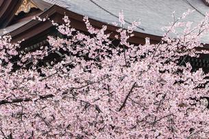 宮地嶽神社の寒緋桜の写真素材 [FYI04780615]