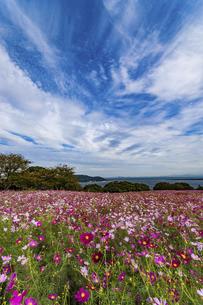 能古島のコスモス園の写真素材 [FYI04780617]
