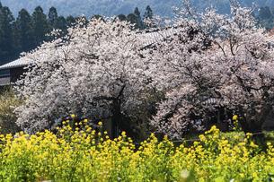 秋月の桜と菜の花の写真素材 [FYI04780619]