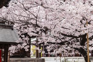 博多東長寺の桜の写真素材 [FYI04780620]