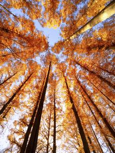 東京都 水元公園のメタセコイアの黄葉の写真素材 [FYI04780773]
