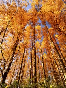 東京都 水元公園のメタセコイアの黄葉の写真素材 [FYI04780782]
