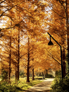 東京都 水元公園のメタセコイアの黄葉の写真素材 [FYI04780788]