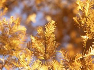 メタセコイアの黄葉の写真素材 [FYI04780802]
