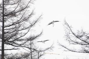 タンチョウの番いの飛来の写真素材 [FYI04780971]