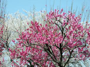 桃の木と桜の木の写真素材 [FYI04781160]