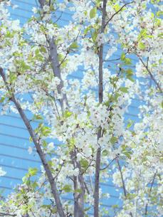 桜とビルの写真素材 [FYI04781165]