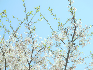 水色の空と桜の写真素材 [FYI04781171]