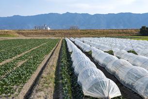 福岡県 ホウレンソウ畑の写真素材 [FYI04781316]