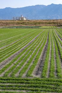 耳納連山を背景に麦畑の写真素材 [FYI04781318]
