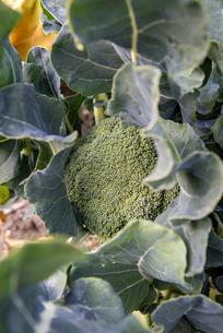 ブロッコリー畑の写真素材 [FYI04781324]
