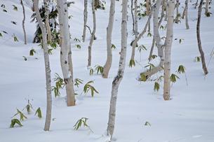 1月 雪の白樺林の写真素材 [FYI04781419]