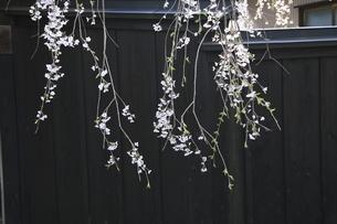 6月 桜の角館武家屋敷の写真素材 [FYI04781436]