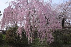 5月 桜の弘前城 -東北の春-の写真素材 [FYI04781454]
