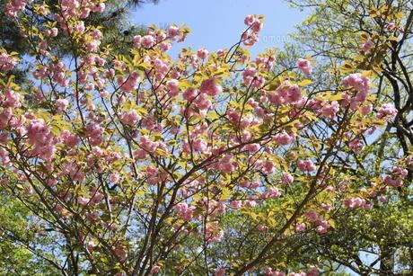 岡崎公園の八重桜の写真素材 [FYI04781461]